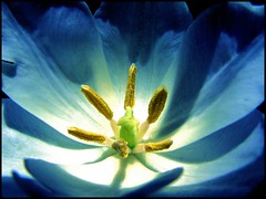 blue tulip (Through Joanne's eye) Tags: blue color macro photographer explore tulip imagination joanne mybest 07 manthei bigmomma outstandingshots 25faves throughjoanneseye onlythebestare photofaceoffwinner pfogold canen joannecanen fotocompetition fotocompetitionbronze