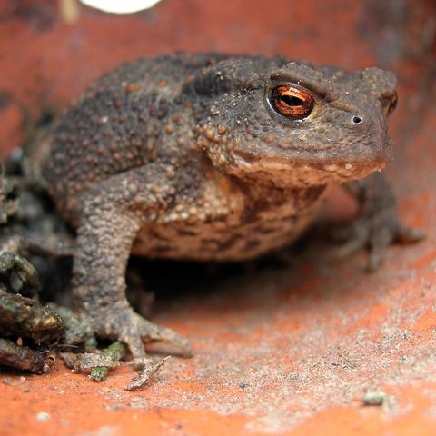 Crapaud - Toad