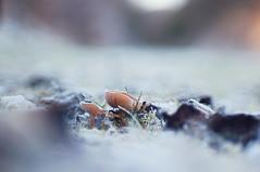 Last Gasp (lewist584) Tags: sony sonynex5r nex5r nex emount m42mount manualfocus macro helios85210mmf38 helios adaptor lewist584 luxembourg lieler ardennes eiffel funghi mushroom frost gimp gmic polachrome bokeh forest