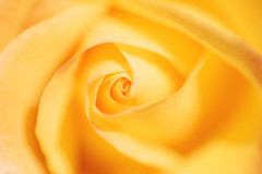 ~ Mellow Yellow ~ (Flick Vlooi) Tags: rose swirl mellow yellow warmth vibrant