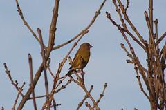 Greenfinch (NTG842) Tags: greenfinch garden birds wildlife stalybridge tameside england