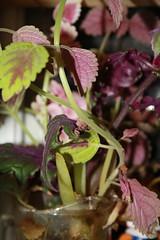 IMG_1154 (taradonnelly1) Tags: purplepassion plant purple green