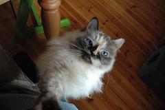 (Rico van Laatum) Tags: cat thuis ragdoll