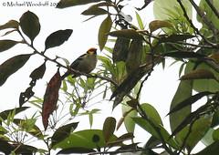 Flame-faced Tanager (Michael Woodruff) Tags: bird southamerica birds ecuador birding sa cloudforest canopy tanager tangara tandayapa tandayapavalley nwecuador flamefacedtanager flamefaced tangaraparzudakii