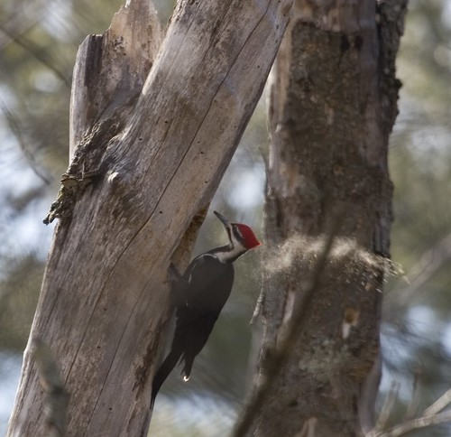 Pileated Woodpecker Excavating a Hole