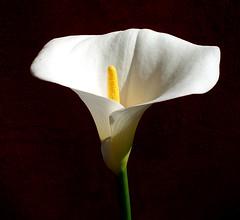 calla10_04_07 (morbillina) Tags: flower calla fiore naturalmente flowerpicturesnolimits