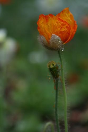 rainy poppy 2