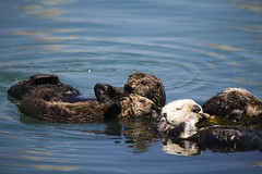 sea-otter-mom-and-pup-4-16-07_5