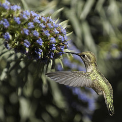 Golden Hummingbird (Nick  Carlson) Tags: pictures bird photography photo bravo hummingbird photos pics carlson nick picture pic huntingtoncentralpark twtmeiconoftheday avianexcellence diamondclassphotographer flickrdiamond nickcarlson truelifeimages nickcarlsonphotography