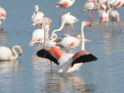 parade flamands roses.jpg