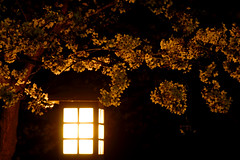night blossoms (straightfinder) Tags: japan night nikon cherryblossom sakura 28105mmf3545d d200 nikkor nikond200 thebiggestgroup hiroyukiw