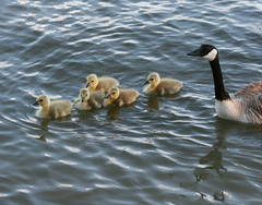Canada Goose series #2 (philipbouchard) Tags: canada bird geese shoreline goose chick gosling isawyoufirst