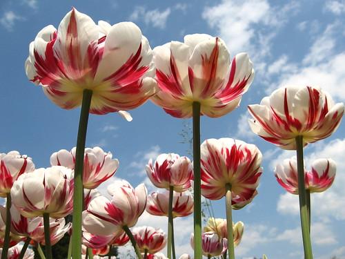 i tulipani di arboretum