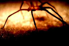 Poison Essence Predator Reclusive Arachnid (Menazort) Tags: brown macro art bronze contrast spider photo eyes flickr image head arachnid pic pasta saturation emergence subgenius arachnids recluse eight thorax brownrecluse menazort
