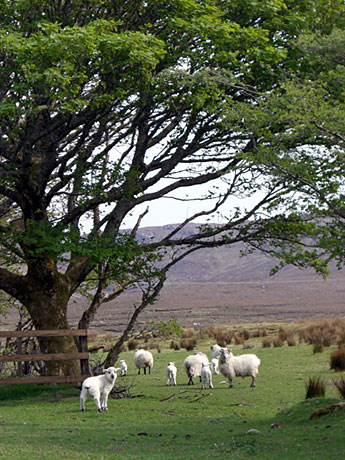 cute-sheep-family