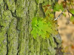 New oak leaves against bark