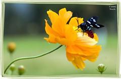 Tondano Bee