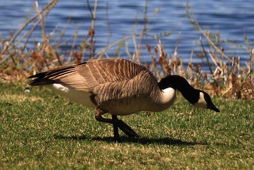 Goose Crop 1829