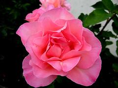 My Neighbour's Rose (Lisa-Marie Jordan) Tags: flowers rose atascadero april2007