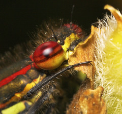 """Large Red Damselfly (pyrrhosoma nymp(18) • <a style=""""font-size:0.8em;"""" href=""""http://www.flickr.com/photos/57024565@N00/489989279/"""" target=""""_blank"""">View on Flickr</a>"""