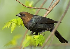 Brown-headed Cowbird (Momba (Trish)) Tags: bird birds nikon tennessee nikkor momba cowbird brownheadedcowbird molothrusater naturesfinest 80400mmf4556dvr nikond200 featheryfriday interestingness189 i500 nikonstunninggallery specanimal qemdfinch superbmasterpiece beyondexcellence avianexcellence march312007 explore11may2007