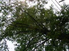 音無川親水公園-03.公園の巨樹