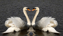 Swans Heart (Jeffdalt) Tags: family wedding sea white lake bird love nature beautiful river groom bride swan pond couple stream heart symbol pair marriage valentine funeral invitation together devotion bond bridal promise bonding eternal everlasting bonded indestructible