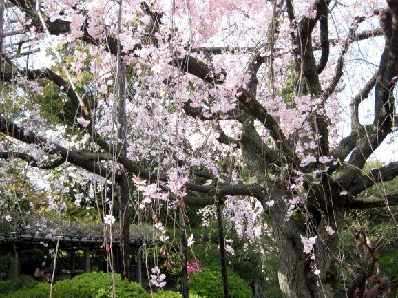 京都・城南宮39 桃山の庭12 枝垂れ桜 里桜