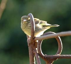 loop-the-loop (janieprender) Tags: nature birds chicks mygarden greenfinch fledglings