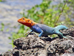 Red-headed Agama - by Tambako the Jaguar