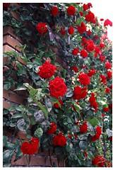 Rose 070520 #17