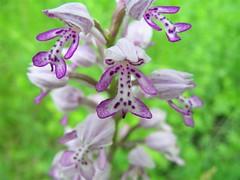 Orchis militaris-Vitz kosbor Familia:Orchidaceae (elisabatiz) Tags: orchid nature hungary explore swamp wildflower wildorchids naturesfinest blueribbonwinner protectedplant