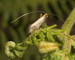 """Longhorn Micro Moth (Adelidae) • <a style=""""font-size:0.8em;"""" href=""""http://www.flickr.com/photos/57024565@N00/511199170/"""" target=""""_blank"""">View on Flickr</a>"""