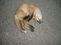 dead fox closeup