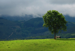 Haya y vaca/ Tree and cow (zubillaga61) Tags: tree landscape cow paisaje vaca haya