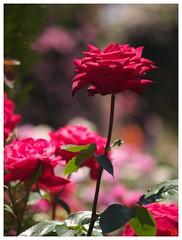Rose 070520 #33