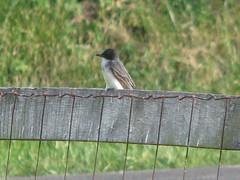 Kathi's kingbird