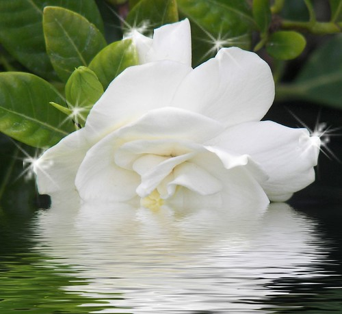 do acid loving plants, such as gardenias, love diluted vinegar, Beautiful flower