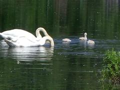 Memorial Day Weekend 084 (Momma Gadz) Tags: swans cygnets memorialdayweekend