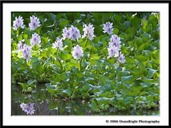 Water Hycinth (Herb Dunn (YosemiteJunkie)) Tags: flowers nature water bakersfield purpleflowers hartpark naturescall herbdunn dunnrightphotography kerncountyphotographers waterhycinth