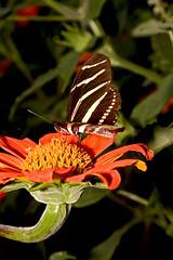 zebra longwing on Mexican sunflower (key lime pie yumyum) Tags: delete10 delete9 delete5 delete2 florida delete6 delete7 save3 delete8 delete3 delete delete4 save save2 save4 save5 bocaraton save6 butterflyworld heliconiuscharithonia thithonia