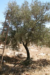 olive harvest in Azmut #7