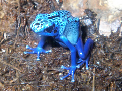 poison arrow frog 2