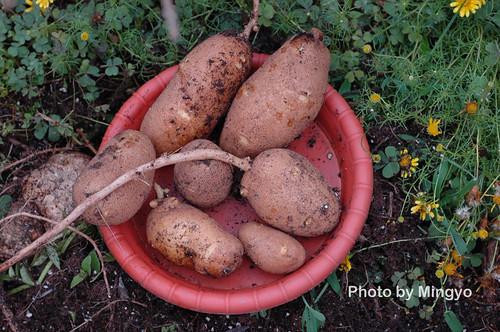 馬鈴薯收成