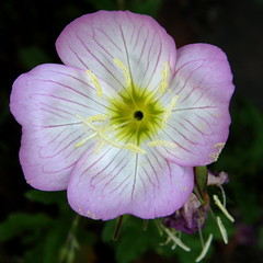 #4530 evening primrose () or showy evening primrose () (Nemo's great uncle) Tags: flower tokyo evening flora   oenothera primrose eveningprimrose stricta  setagayaku oenotherastricta yga tky