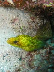 (earthhopper) Tags: geotagged underwater diving okinawa  akajima  elegans kerama     gymnothorax  geo:tool=yuancc geo:lat=26201928 geo:lon=127321994 amurojima kerama20070531