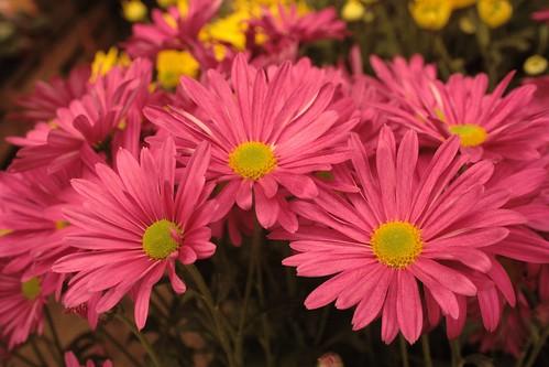 Pink Daisis