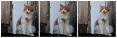 Nom d'une moustache, m'énervent ces humains !! (Et si, et si ...) Tags: portrait chat triptyque expressions couleur