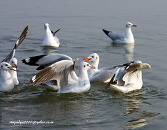 Brown-headed Gulls (Chroicocephalus brunnicephalus) (vlupadya) Tags: greatnature aves fauna indianbirds bron headed gulls chroicocephaus bhigwan maharashtra