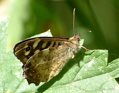 Taking in the sun. (pstone646) Tags: butterfly nature wildlife animal closeup sunshine kent insect nettle